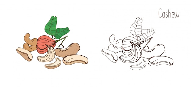 Colored and monochrome banner of cashew with leaf.