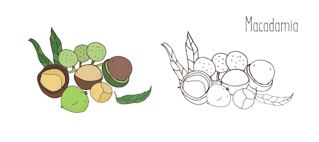 Colored and monochrome drawings of macadamia in shell and shelled with leaves. delicious edible drupe or nut hand drawn in elegant vintage style. natural vector illustration.