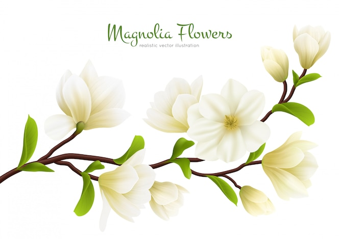 Colored realistic white magnolia flower composition with green calligraphy description