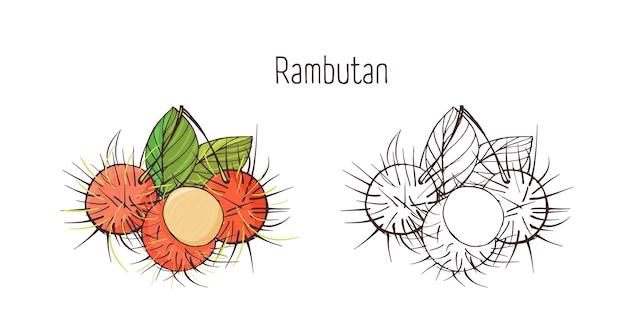 白い背景で隔離の皮をむいたと皮をむいていないランブータンのカラフルでモノクロの輪郭図。