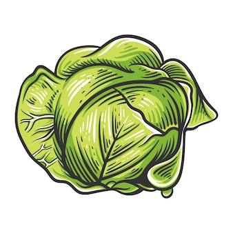 Colorful cabbage illustration isolated on white