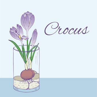 Colorful natural floral illustration with blooming crocus flower in glass in hand drawn style