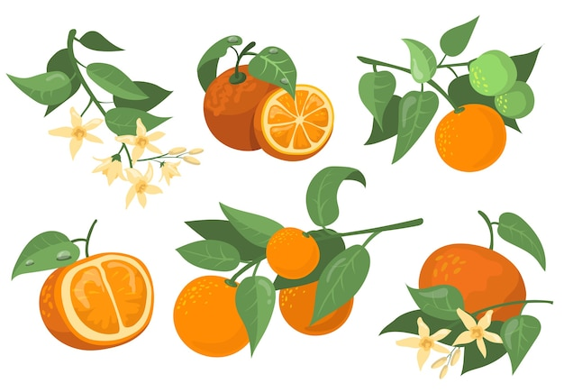 Colorful orange branches and flowers flat item set. cartoon drawing orange, tangerine and mandarin isolated vector illustration collection. citrus fruit and tree concept