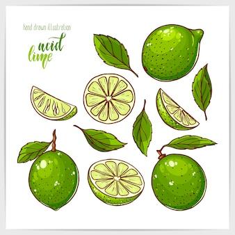 Красочный набор спелых и вкусных лаймов, целых и нарезанных, с листьями. рисованной иллюстрации с заголовком ручной надписи.