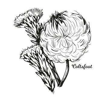 Coltsfoot coughwort, farfarae folium leaf, foalswort. tussilago farfara flowers used in cosmetics. herb for treatment liver damage and cancer, alternative medicine monochrome.