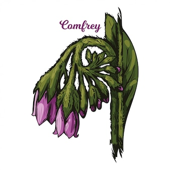 Comfrey, blackwort, common comfrey, slippery root. quaker-comfrey, cultivated boneset, knitbone, consound, and slippery-root used in cosmetics and medicine.