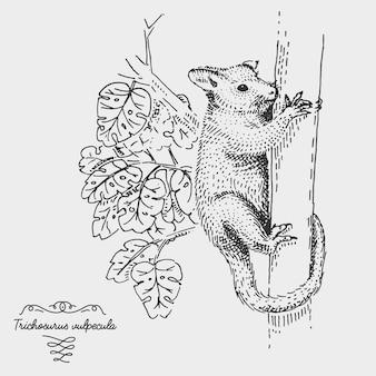 Common brushtail possum trichosurus vulpecula engraved, hand drawn illustration