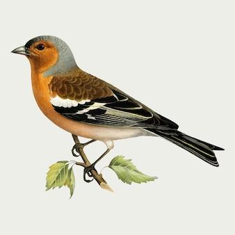Обыкновенный зяблик мужской птицы рисованной