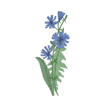 Common chicory flowers and leaves isolated on white