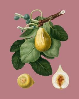 Common fig from pomona italiana illustration