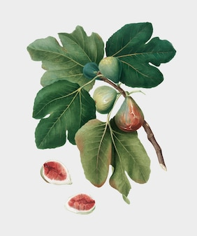 Common fig from pomona italiana illustration