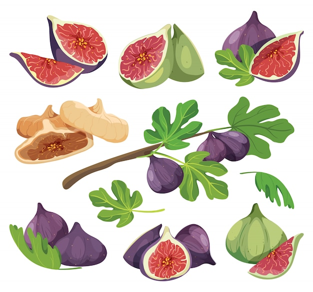 Common fig with leaves. collection of detailed drawings of fig isolated on white. set of fresh and dried fig fruit colored vector illustration. figs compositions for product packaging.