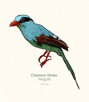 Common green magpie illustration