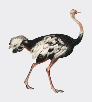 Common ostrich (struthio camelus) illustrated