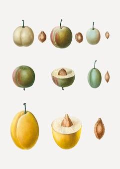 Common plum types