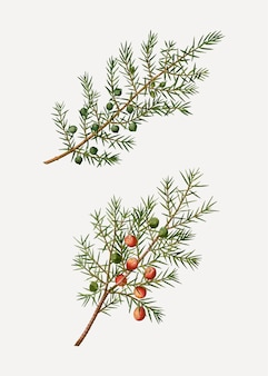 Common and prickly juniper