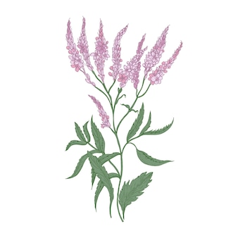 白で隔離される一般的なバーベナの花