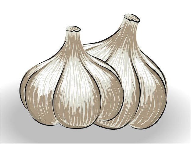 Composition of two realistically drawn garlic bulbs