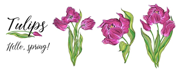 Compositions of vector colored tulip flowers, spring flowers