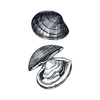 요리 대서양 서핑 조개 삽화. 식용 연체 동물. 조개 및 해산물 레스토랑 요소. 손으로 그린 바다 조개는 흰색 바탕에 스케치합니다.