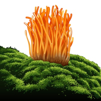 Cordyceps militaris. traditional chinese herbs, is a mushroom that using for medicine and food famous in asian.