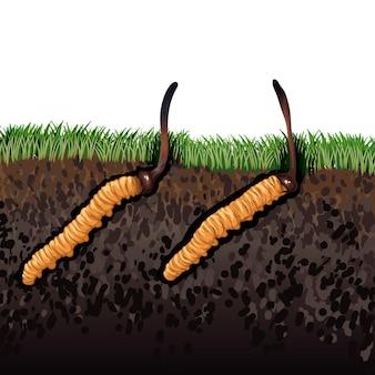 동충하초 sinensis. 한약재는 아시아에서 유명한 약과 음식에 사용하는 버섯입니다.