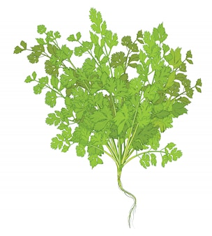 Coriander leaves on white background