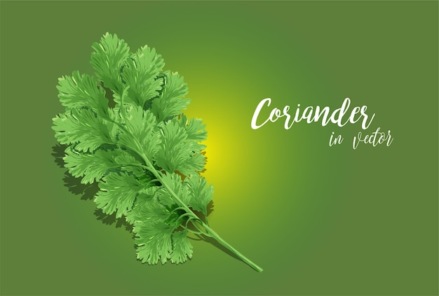 Coriander vector art