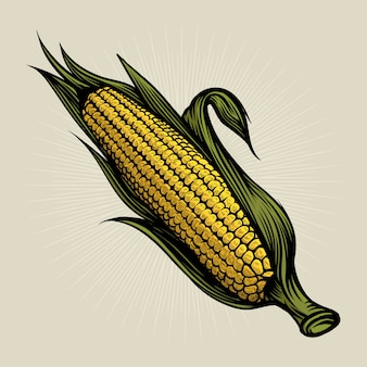 Corn on the cob vintage engraved illustration. botanical corn. vector illustration