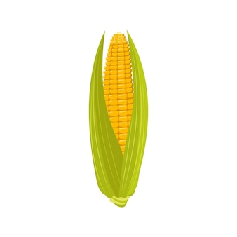 Corn on the cob with leaves and grains. summer and autumn harvest, delicious food. source of vitamins, yellow vegetables