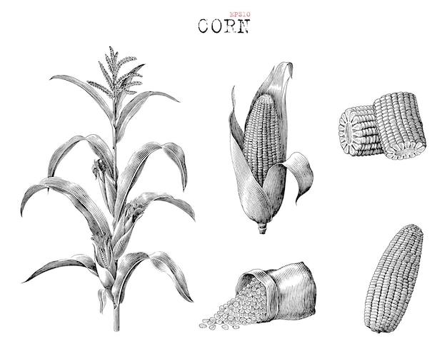 Коллекция кукурузы рисованной старинные гравюры стиль черно-белые картинки, изолированные на белом фоне