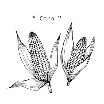 Corn drawing illustration by hand drawn line art.