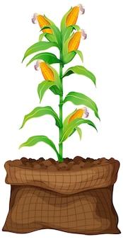Кукуруза растет в коричневой сумке на белом фоне