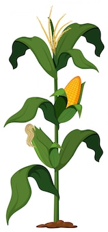 Corn Plant on White Background