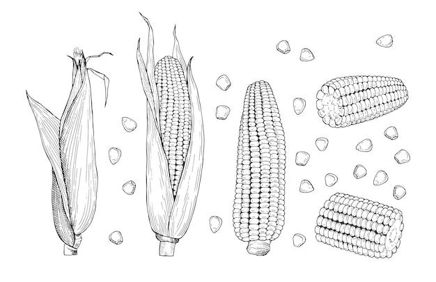 Эскиз кукурузы. сладкое ботаническое растение. изолированные старинные здоровые мозоли, рисованные початки и зерна.