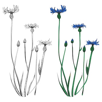 Cornflowers silhouettes and colorful isolated