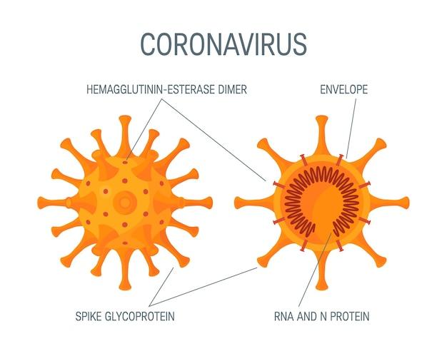 Схема поперечного сечения коронавируса. изолированные на белом фоне в мультяшном стиле. дизайн медицинской инфографики, плакатов, постов и т. д.
