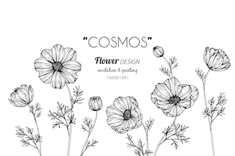 Cosmos flower drawing illustration