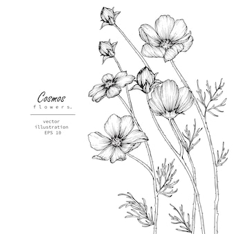 Cosmos flower drawings