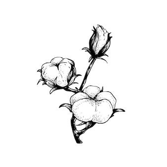목화 꽃 지점. 천연 에코 목화의 손으로 그린 스케치 스타일 그림. 빈티지 새겨진. 흰색 바탕에 식물 예술입니다.