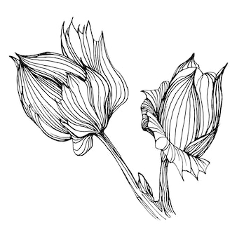 Cotton flower, engraving vintage illustration