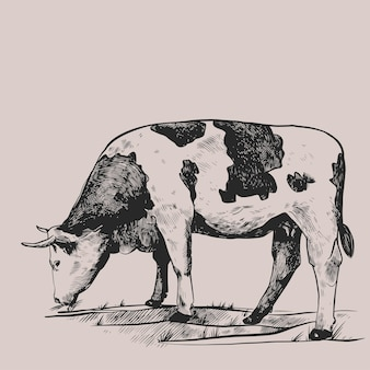 Cow in the meadow hand drawn in a graphic style vintage vector engraving illustration