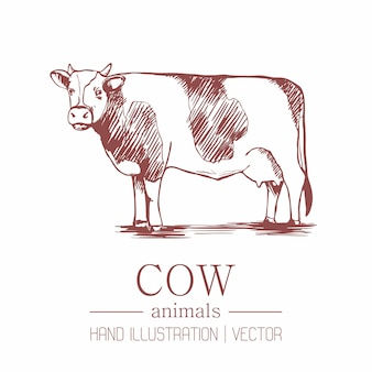 Cow. vintage style. hand drawing.