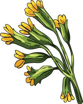 Cowslip vector illustration. primula veris, common primrose primula officinalis hill