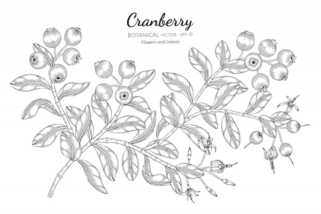 Cranberry fruit hand drawn botanical illustration with line art