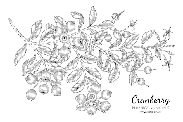 Cranberry fruit in hand drawn botanical illustration