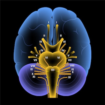 脳神経図。脳構造医療ポスター。小脳、橋、ピラミッド、三叉神経、迷走神経。運動および感覚線維スキーム。脳幹の解剖学的バナー3dベクトルイラスト。