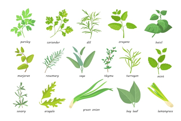 Creative green popular culinary herbs flat pictures set. cartoon thyme, parsley, rosemary, sage, coriander, oregano, etc
