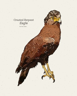 Crested serpent eagle illustration