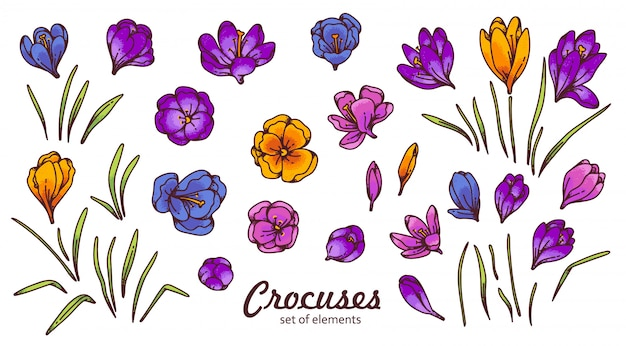 Crocus flower bud and leaves spring primroses  outline sketch illustration isolated on white background.